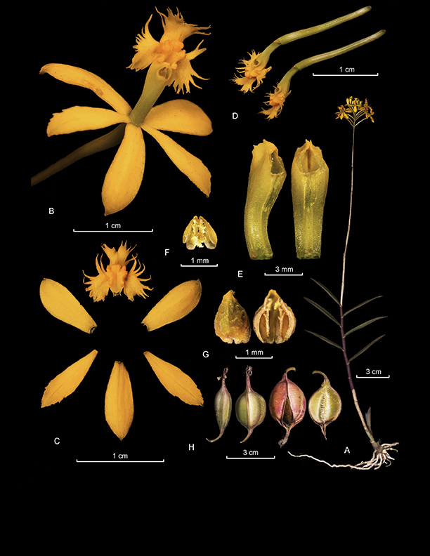 Epidendrum melinanthum