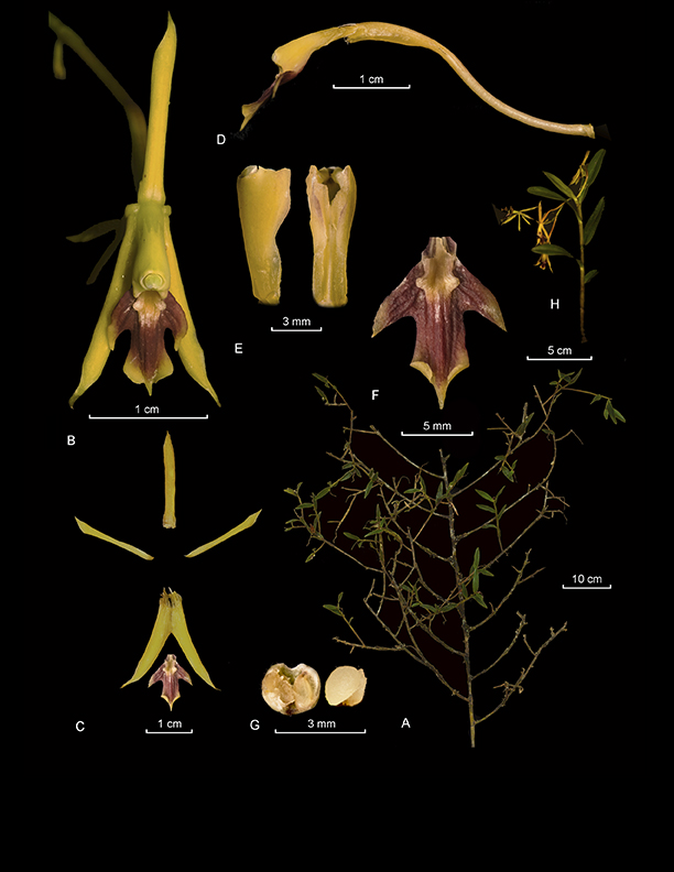 Epidendrum polythallum