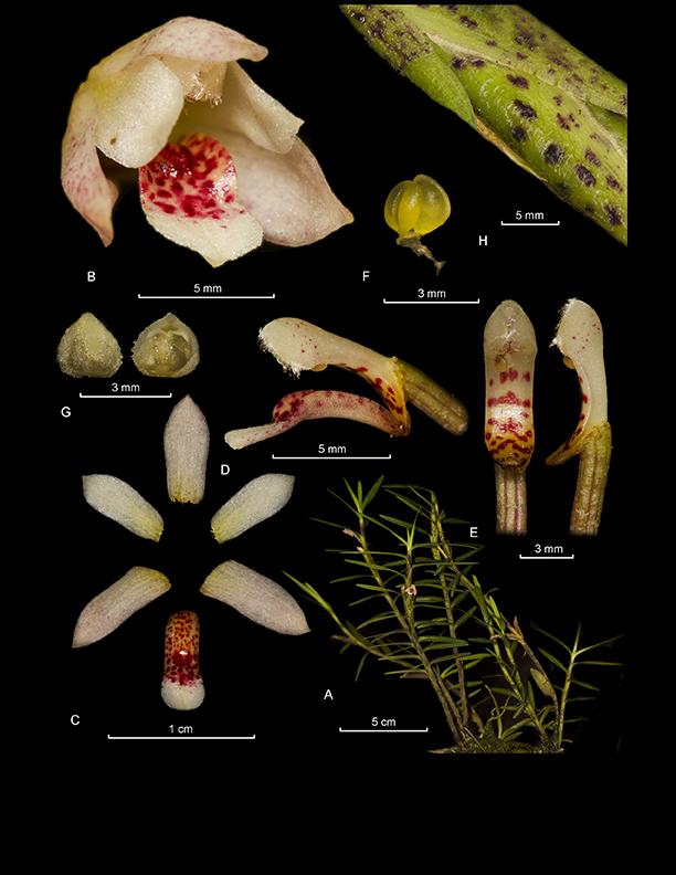 Maxillariella vulcanica