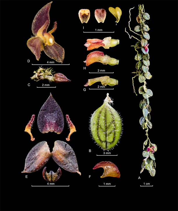 Andinia pseudocaulescens