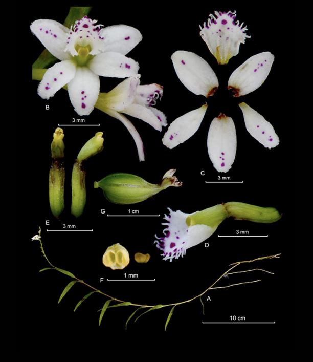 Epidendrum fimbriatum