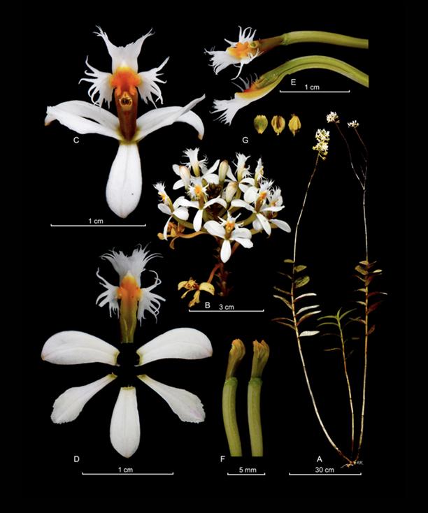 Epidendrum schistochilum
