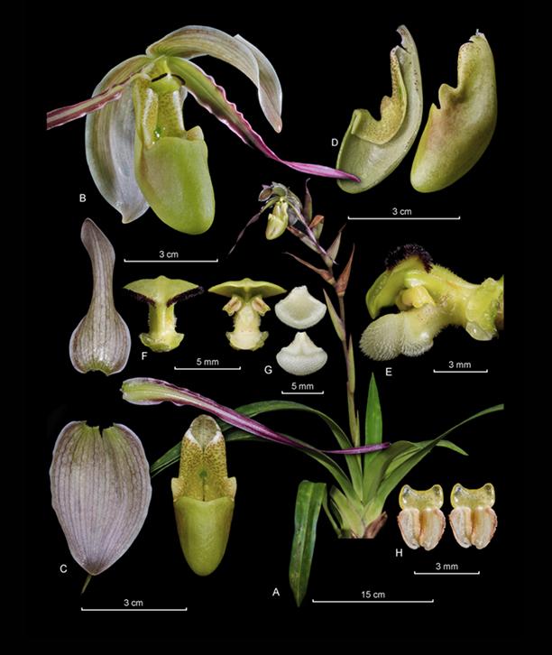 Phragmipedium longifolium