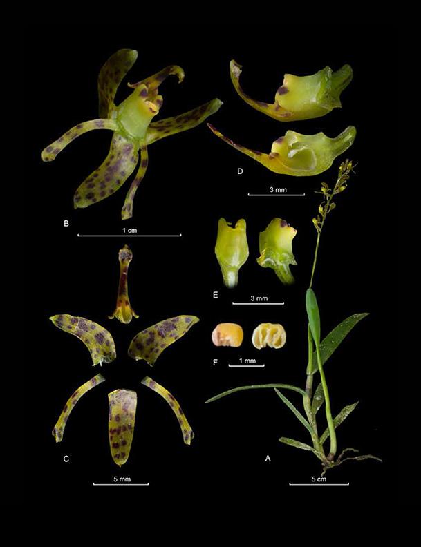 Epidendrum hamatum