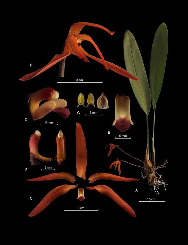 Maxillaria colorata