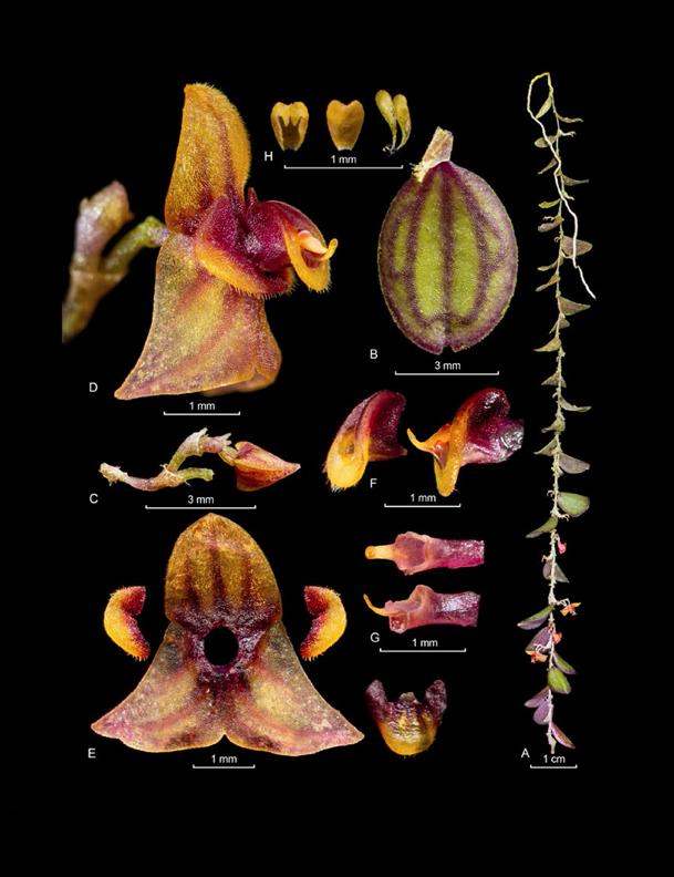 Andinia auriculipetala