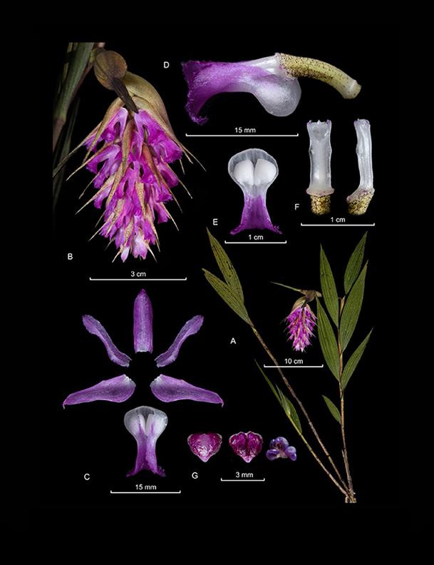 Elleanthus maculatus
