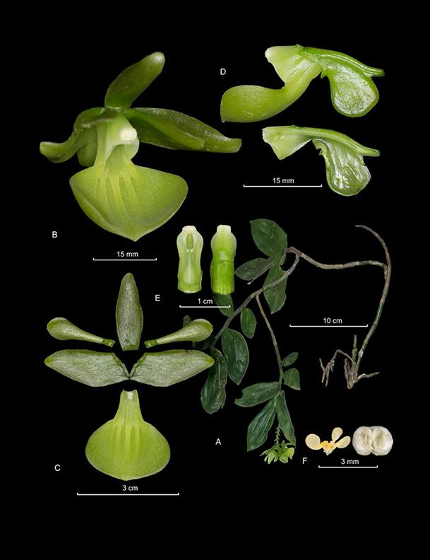 Epidendrum scrotiforme