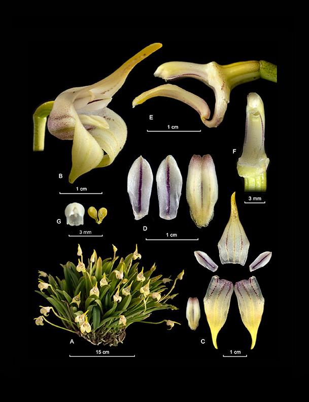 Masdevallia coriacea